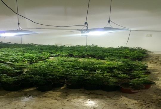 vivero de marihuana, Policía Nacional, canadiense, cultivo de marihuana, marihuana, Verón,